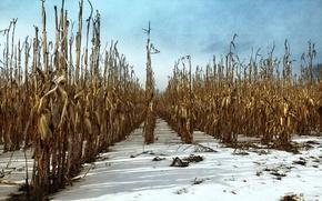 Картинка осень, снег, кукуруза