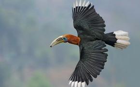 Обои Индия, крылья, непальский калао, непальская птица-носорог, рыжешейная птица-носорог, Западная Бенгалия, Гималаи, полет, птица