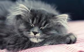 Картинка кошка, кот, котенок, серый, пушистый, спит, лежит
