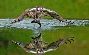 Картинка вода, отражение, птица, рыба, добыча, улов, Скопа