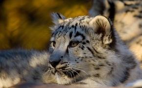 Обои Леопард, хищник, snow leopard, ирбис, снежный барс