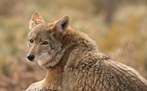 Картинка взгляд, волк, зверь, койот