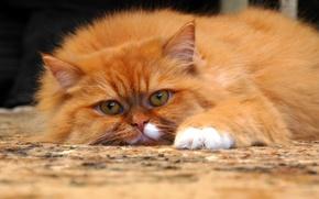Картинка глаза, кот, усы, взгляд, поза, ковёр, лапы, шерсть, пушистый, нос, рыжий, уши