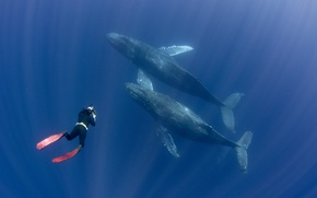Обои fins, whales, diver