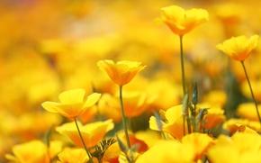 Обои эшшольция, цветы, много