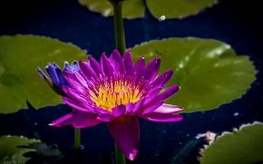 Картинка водяная лилия, кувшинка, нимфея