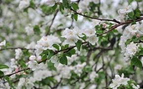 Обои дерево, яблоня, ветки, весна