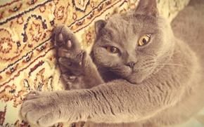 Картинка кот, серый, киса, британец, играть
