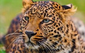 Обои усы, лежит, леопард, leopard, panthera pardus, любопытство, морда
