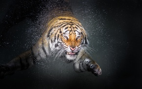 Обои animal, tiger, drop, water