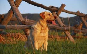 Картинка поле, трава, взгляд, забор, собака, пес