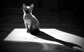 Обои кошка, пол, котёнок, силуэт, тень, монохром, контраст, кот