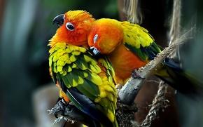 Картинка любовь, Птицы, пара, попугаи