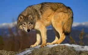Картинка серый, волк, хищник, wolf