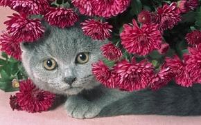 Обои цветы, красивый, серый, пухлый котик, сереневые, кот