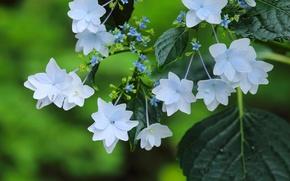 Картинка макро, цветки, гортензия