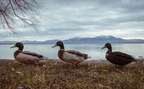 Картинка nature, winter, mountains, mountain, birds, three, pond, ducks, Duck