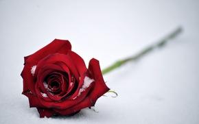 Обои бутон, снег, роза, красная, цветок, листья