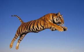 Картинка тигр, прыжок, хищник