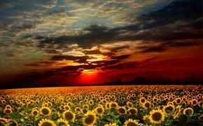 Картинка поле, небо, подсолнухи, закат, тучи