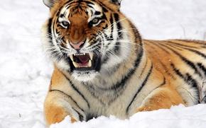 Обои взгляд, лежит, тигр, снег, оскал, морда, угроза