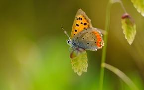 Обои макро, бабочка, растение, крылья, насекомое, крапинка