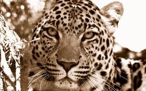 Обои морда, дикие кошки, морды хищники, леопарды