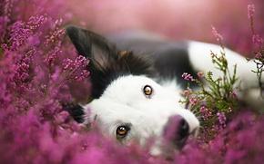 Картинка морда, цветы, портрет, собака, луг, бордер-колли, обои от lolita777