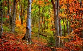 Картинка осень, лес, деревья, forest, Nature, листопад, trees, autumn, leaves, woods, fall