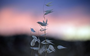 Картинка небо, трава, утро, колоски, травинки, заря