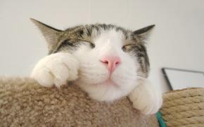 Обои мордочка, розовый нос, лапы, кот