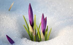 Картинка снег, цветы, весна