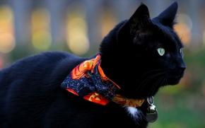 Картинка кошка, кот, черный, кошак