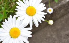 Картинка белый, цветы, фон, обои, ромашки, размытие, лепестки, ромашка, wallpaper, цветочки, широкоформатные, flowers, background, полноэкранные, HD ...