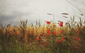 Обои маки, трава, лепестки, красные