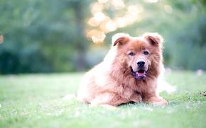 Картинка трава, взгляд, блики, собака
