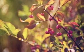 Картинка макро, ветка, лист, свет, ветви, листья, ягоды, размытость, листва, блики, ветки, осень