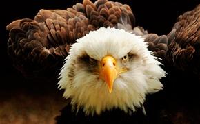 Картинка взгляд, птица, клюв, белоголовый орлан