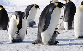 Обои пингвины, императорские, Антарктида