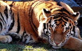 Картинка свет, тигр, зверь, солнце., спящий