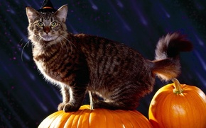 Картинка кот, праздник, тыквы, halloween