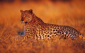 Картинка закат, отдых, Леопард, вечер, саванна, Африка