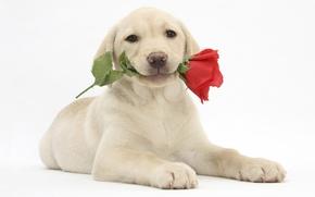 Картинка labrador retriever, лабрадор ретривер, щенок, цветок, роза