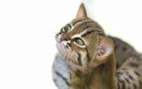 Картинка кот, морда, детёныш, котёнок, ©Tambako The Jaguar, ржавая кошка, rusty spotted cat