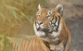 Обои тигр, ветки, фон, листья