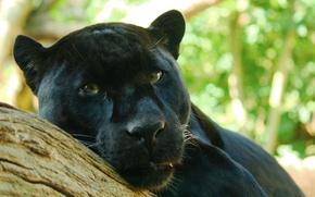 Обои Panthera onca, лежит, взгляд, хищник, пантера, дерево, наблюдает, ягуар