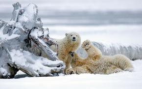 Картинка зима, снег, медведи, Аляска, коряга, медвежата, белые медведи