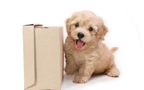 Картинка коробка, собака, щенок