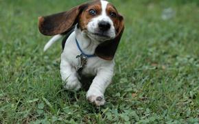 Картинка Трава, щенок, бег.