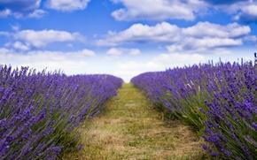 Картинка поле, хорошая погода, лаванда, фиолетовые цветы